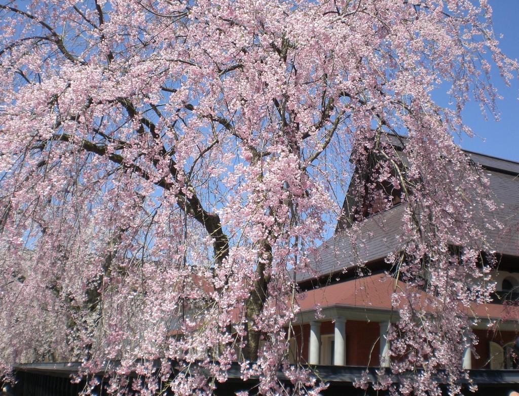 角館武家屋敷の桜 (2)