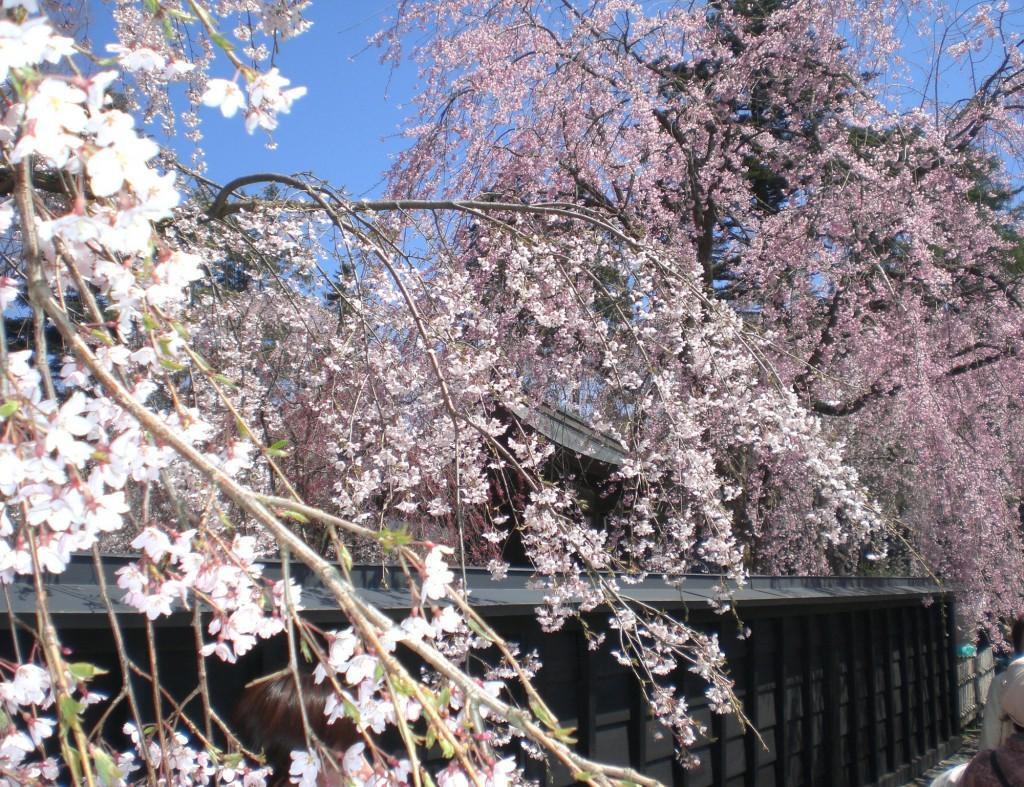 角館武家屋敷の桜 (4)