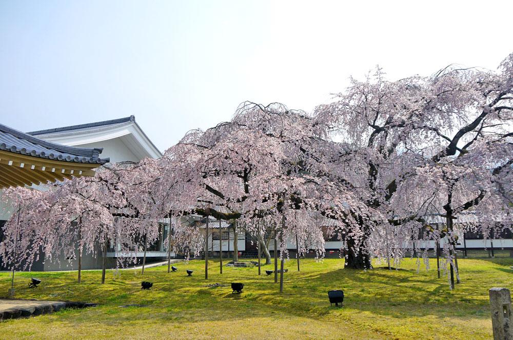 醍醐寺桜2